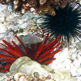 Spotted Moray among the urchin and coral, Lanai, Hawaii, Nov 2011