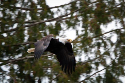 Bald Eagle in flight Brackendale BC Dec 2011