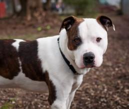 American Pitbull Terrier - High Resolution Photo