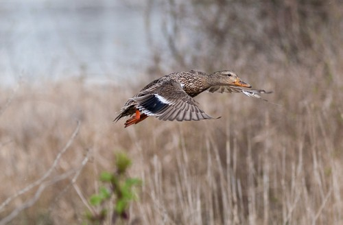 George C. Reifel Migratory Bird Sanctuary: Mallard in flight