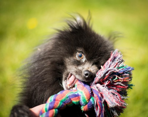 Vancouver Animal Control - Shelter Dogs - 2012-05-11 - Pomeranian