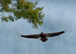 Juvenile Bald Eagle In Flight - Brackendale Eagles