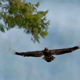 Juvenile Bald Eagle In Flight - Brackendale Eagles