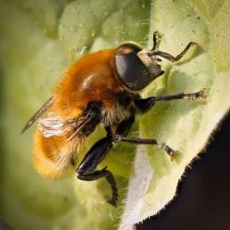 Garden Bee: 2012-06-20 : Focus Stack with Zerene Stacker (105mm f/2.8 VR Micro)