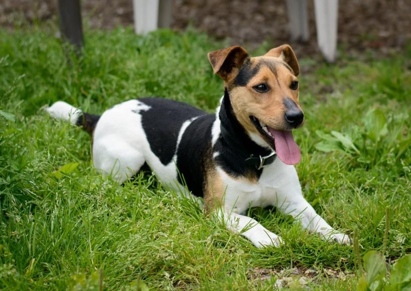 Shelter Dogs for Adoption : 2012-06-27 : Jack Russel Terrier 2
