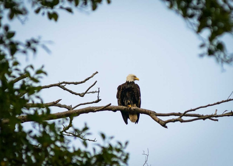 Acadia-Beach : 2012-07-10 : Bald Eagle 1