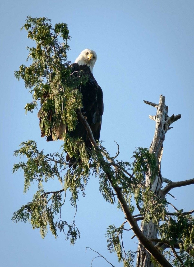 Acadia-Beach : 2012-07-10 : Bald Eagle 4