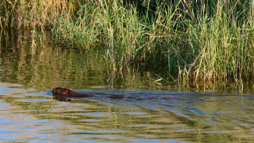 Alberta Visit Aug 2012 : Beaver