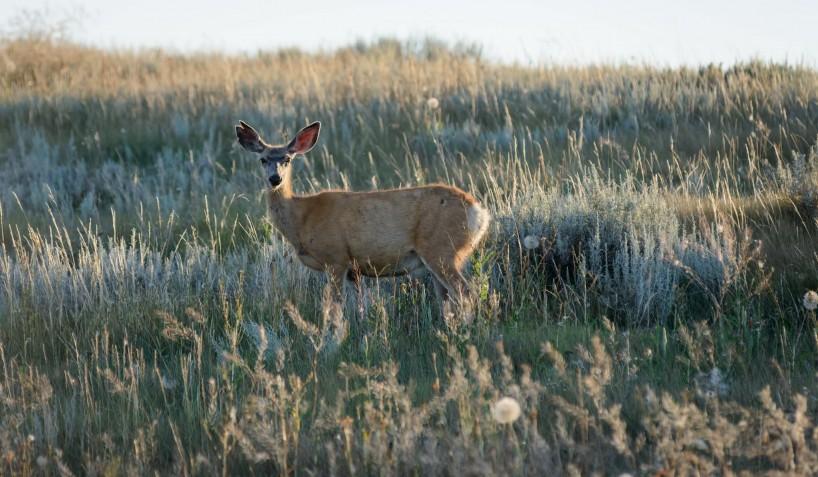 Alberta Visit Aug 2012 : Mule Deer