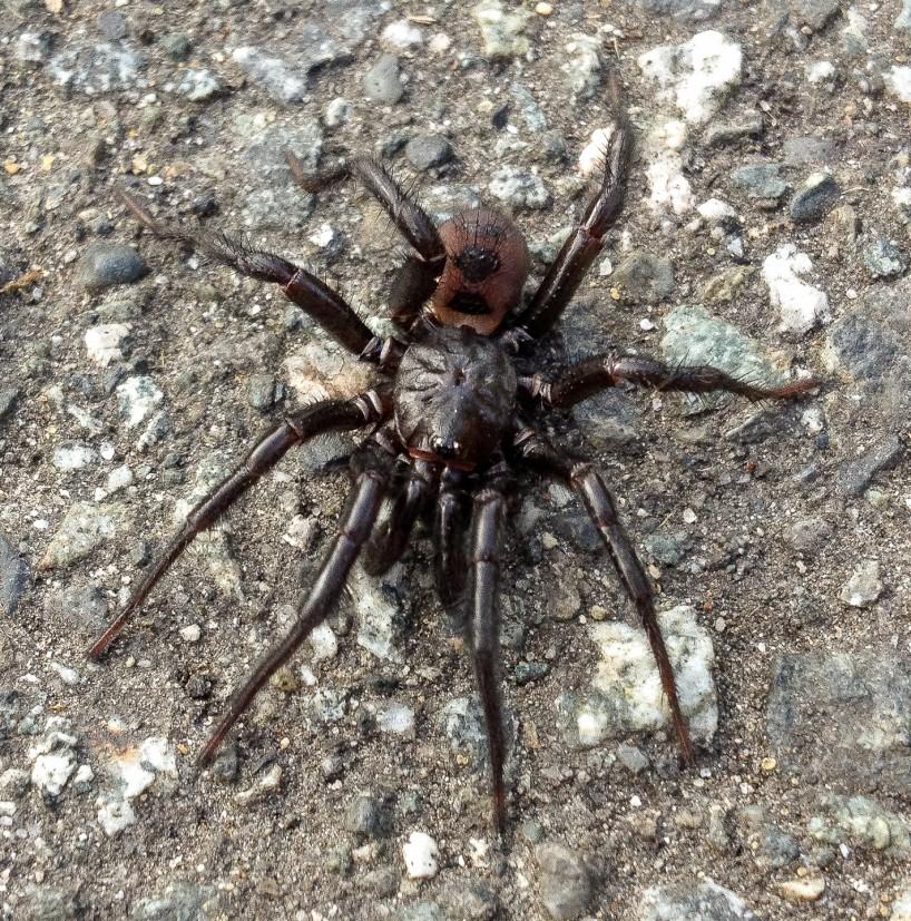 Antrodiaetus pacificus trapdoor spider