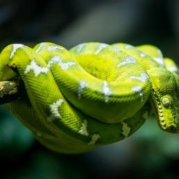 Vancouver Aquarium Emerald Tree Boa