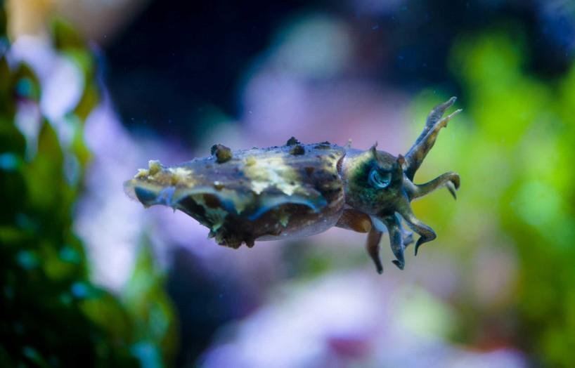 2013-02-20 : Vancouver Aquarium : Cuttlefish