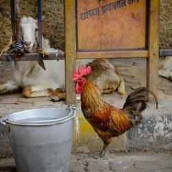 2012 Oct : Mumbai India Visit : Rooster
