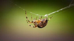 Orb Weaver On Web, Vancouver, Canada