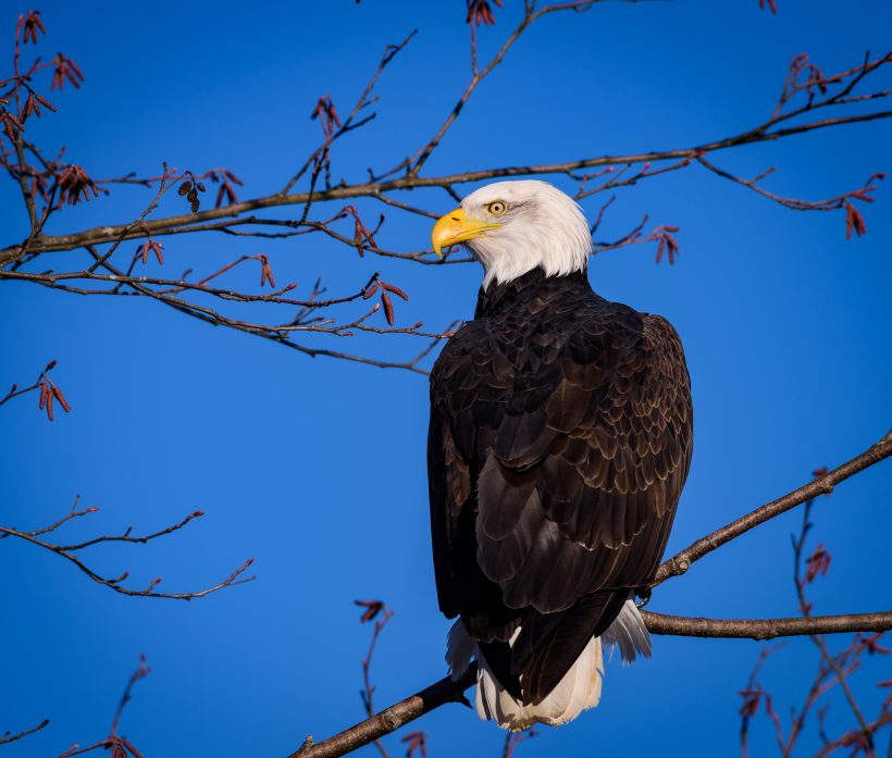 Brackendale Bald Eagle in Tree : Nikkor 200-500 f/5.6 VR Lens (500mm)