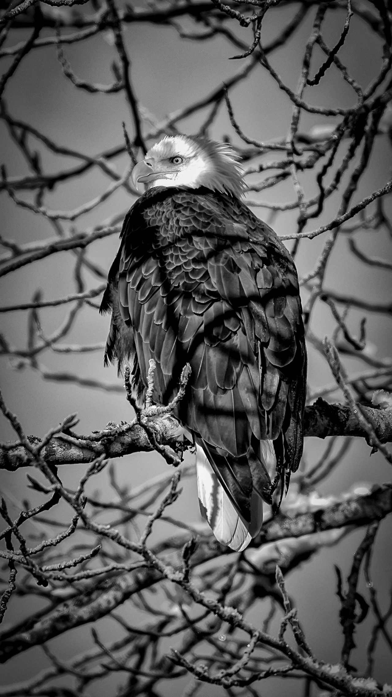 Squamish Bald Eagles : 2016-01-02 : Nikon D810 & Nikkor 200-500 : Eagle In Tree Black and White