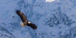 Raptor on the Wing, Squamish, BC