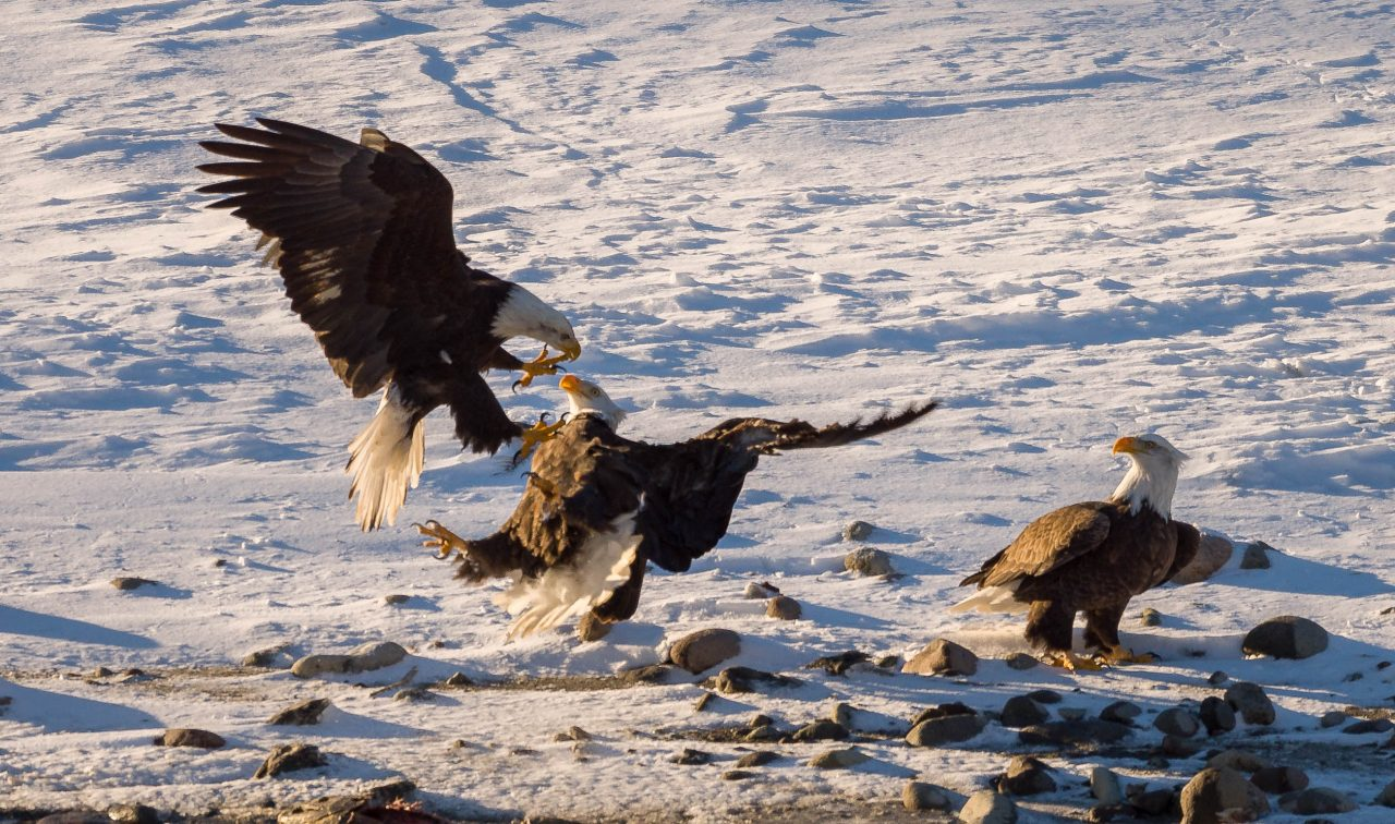 Squamish Bald Eagles (Again) 1