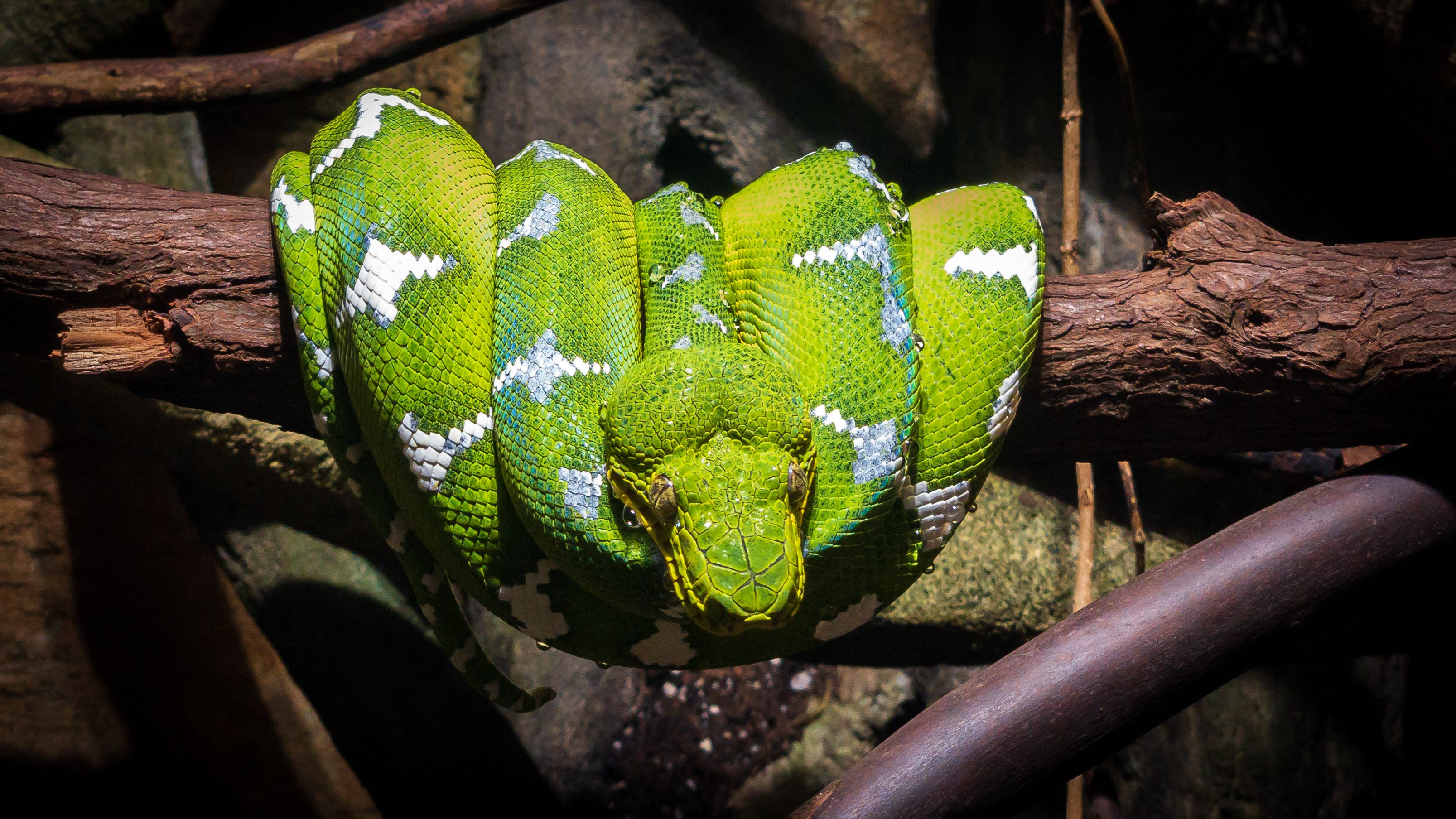 Vancouver Aquarium with the iPhone X : 2018-09-09 : Emerald Tree Boa