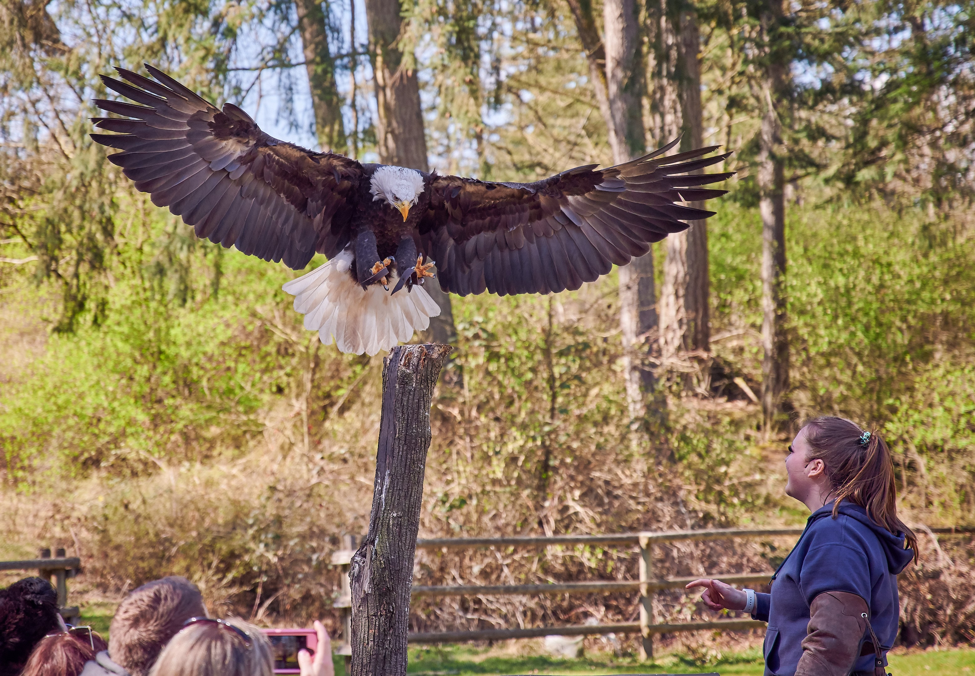 Vancouver Island Raptors – Nikon Z7 Nikkor 24-70 f/4 S – Bald Eagle flying demo