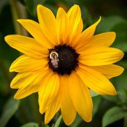 Bumblebee on sunflower - Nikon 500mm f/5.6 PF lens