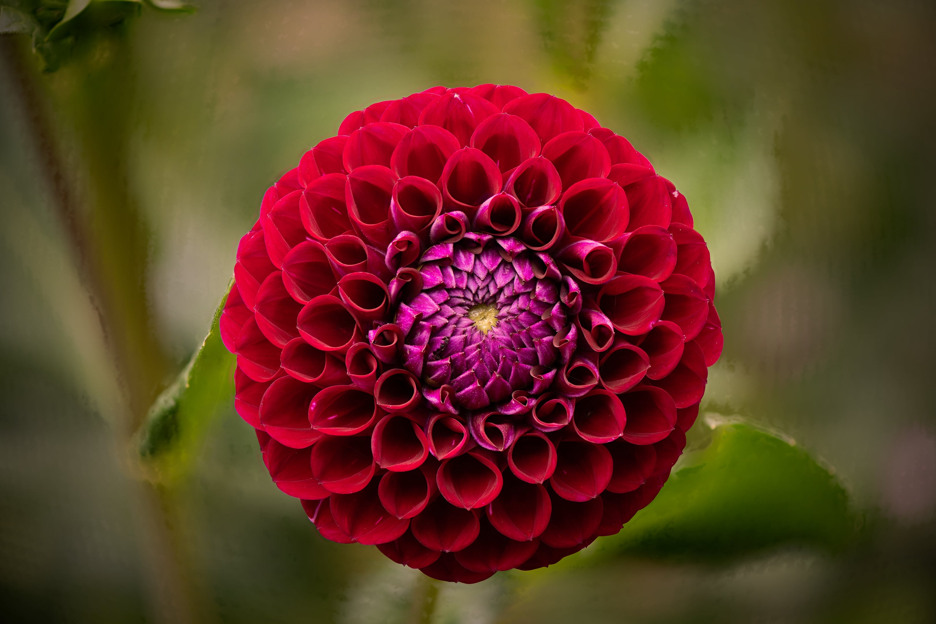 Nikon Z7 Focus Shift - Stacked with Zerene Stacker (DMap) - Flower
