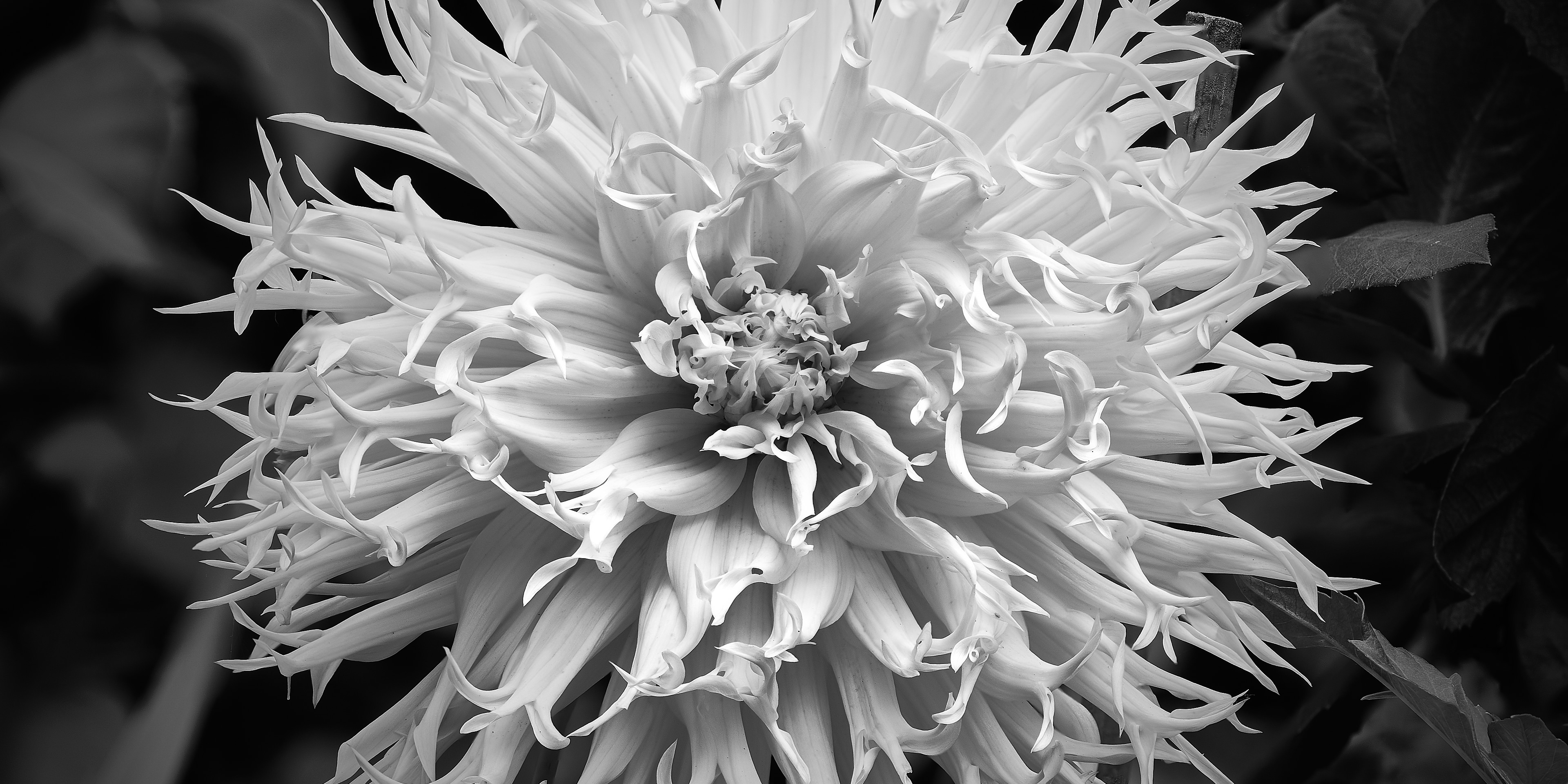 Focus Shift with Nikon Z7 - black and white conversion